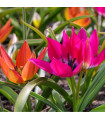 Směs nízkých tulipánů - 24 ks