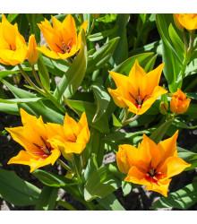 Tulipán vícekvětý Praestans Shogun - Tulipa - holandské cibule tulipánů - 3 ks