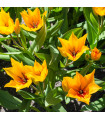 Tulipán vícekvětý - Praestens - prodej cibulovin - holandské tulipány - 3 ks