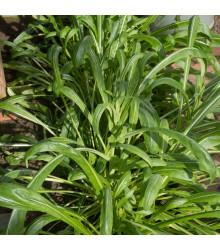 Mibuna - japonský salát - prodej semen mibuny - Brassica rapa - 40 ks