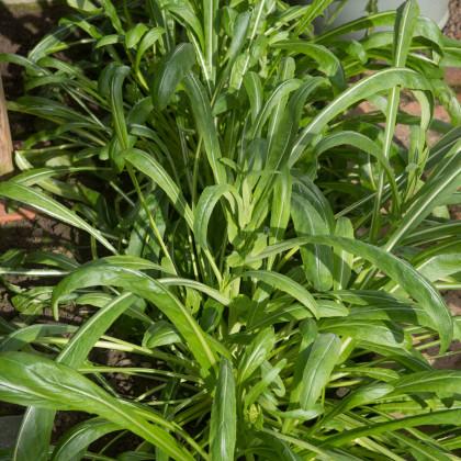 Mibuna - japonský salát - Brassica rapa - osivo mibuny - 40 ks