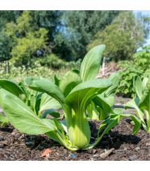 More about Pak Choi - čínské zelí - Brassica chinensis - osivo pak choi - 100 ks