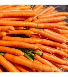Mrkev obecná dlouhá červená - Lange Rote Stumpfe ohne Herz 2 - Daucus carota - osivo mrkve - 1 gr