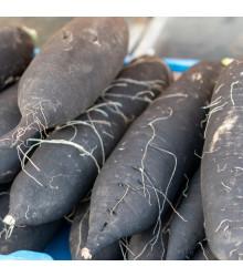 Ředkev setá dlouhá černá - Raphanus sativus niger - osivo ředkve - 200 ks