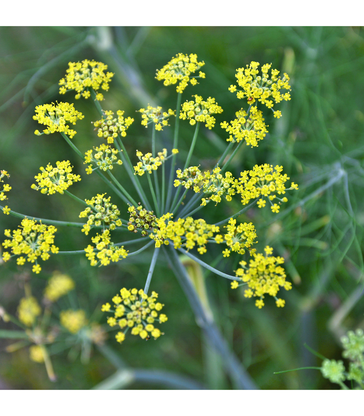 Anýz - Pimpinella anisum - semena anýzu - 350 ks