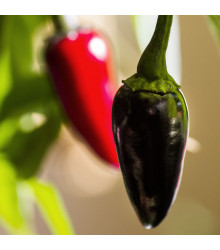 Chilli Black Hungarian - Capsicum annuum - semena chilli - 6 ks