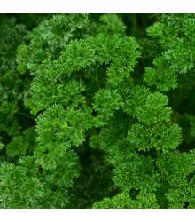 More about Petržel naťová Zelená Perla - Petroselinum crispu - semena petržele - 1 g