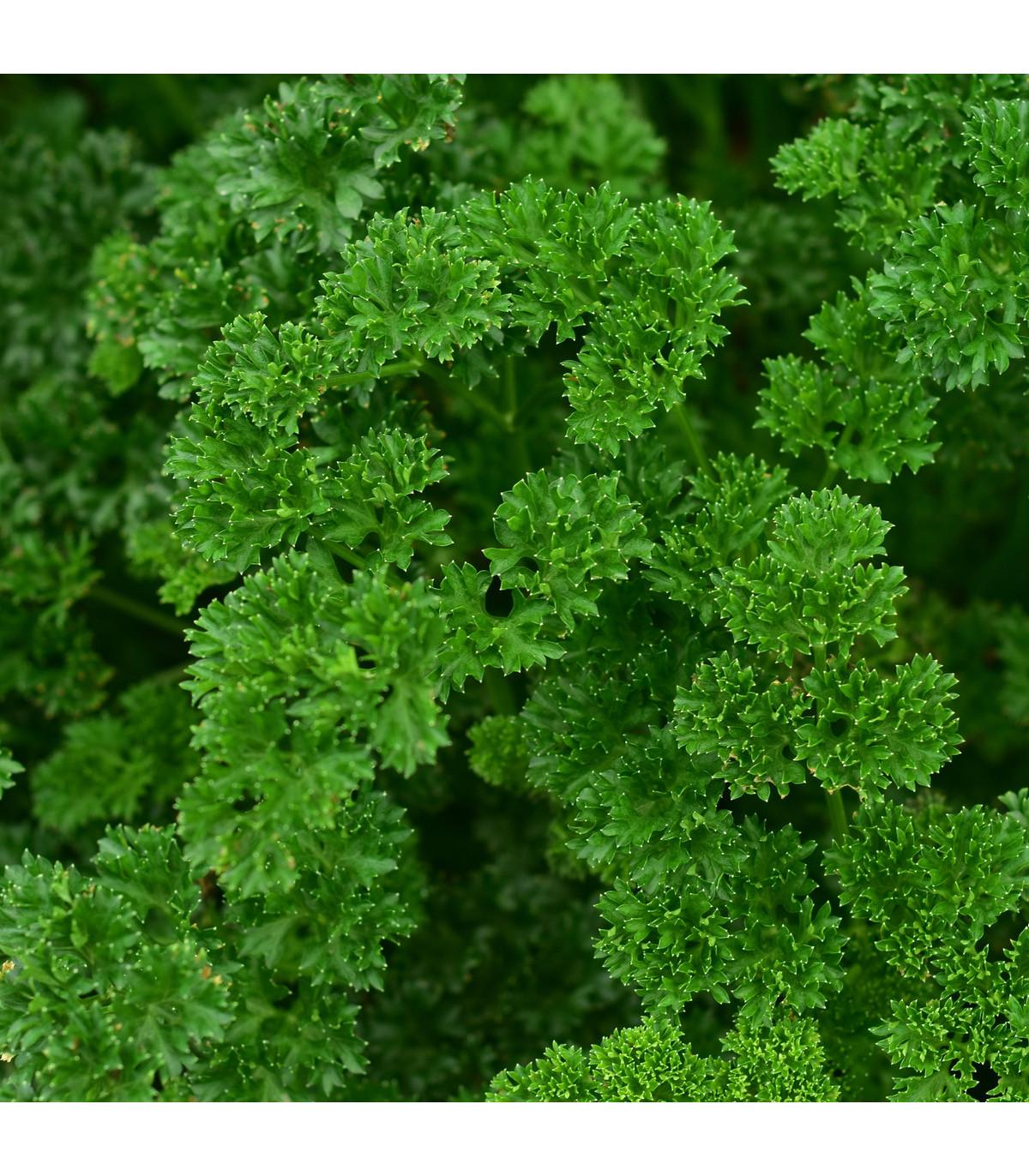 Petržel naťová Zelená Perla - Petroselinum crispu - semena petržele - 1 g