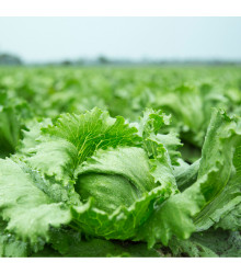 BIO salát Batavia Leny - Lactuca sativa - bio semena - 100 ks