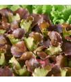 Salát trhací americký hnědý - Latusa sativa - prodej semen salátu - 0,5 gr