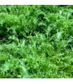 Salá Batavia - prodej semen salátu Batavia - 1 gr
