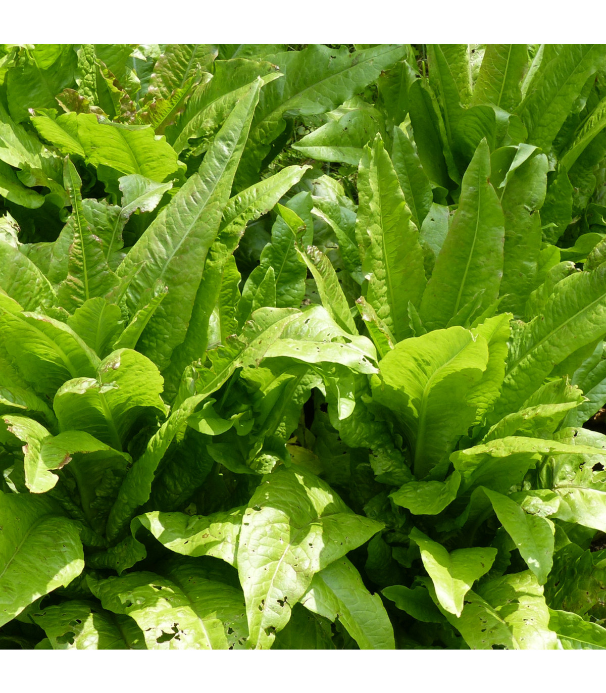 Salát chřestový Celtuce - Lactuca sativa L.var.asparagina - osivo salátu chřestového - 300 ks