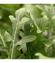 Roketa setá Dentelata - rostlina Eruca vesicaria - prodej semen - 0,5 gr