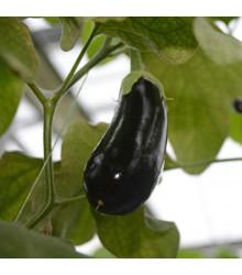 Lilek Falcon F1 - Solanum melongena - osivo lilku - 8 ks