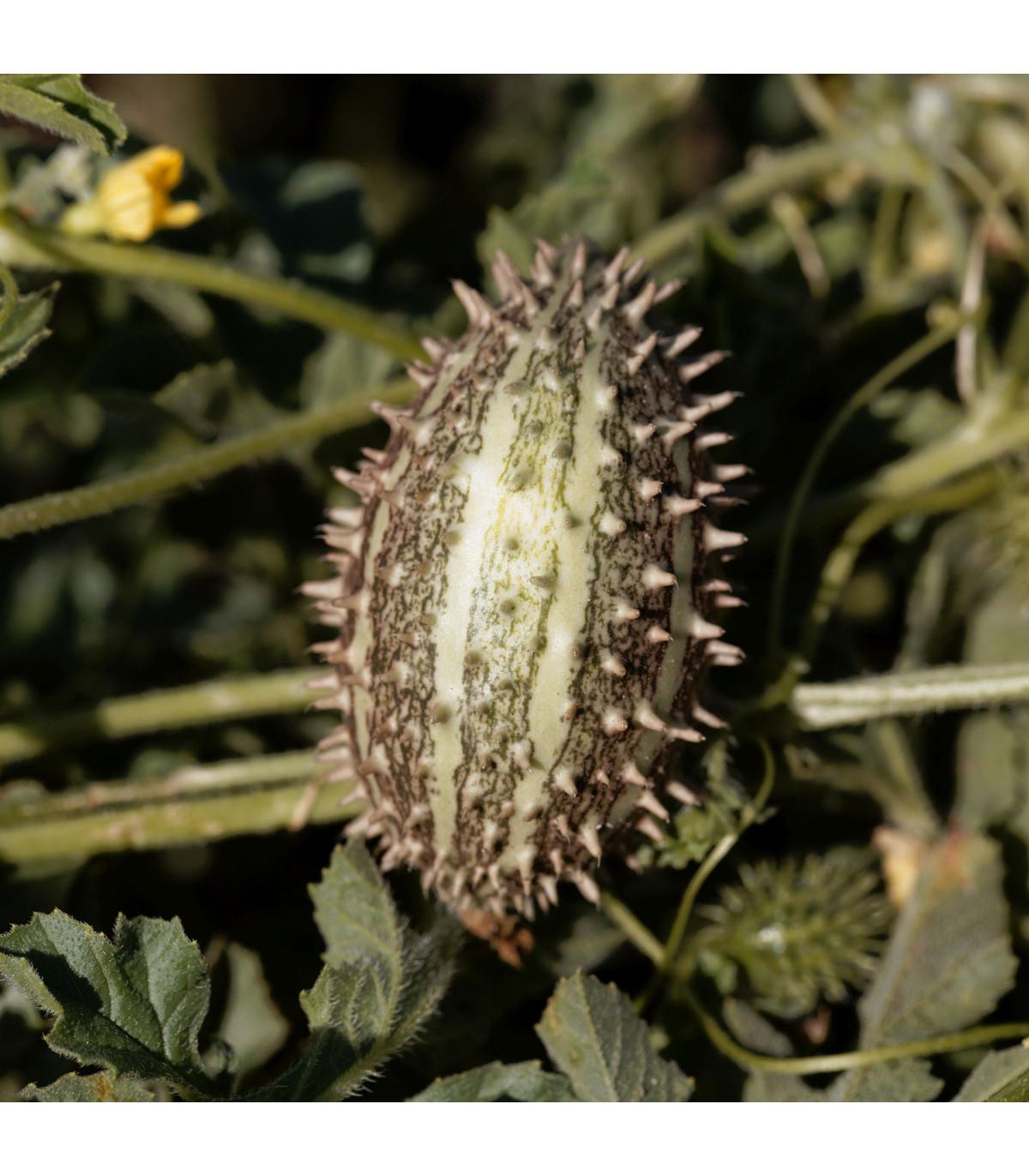 Okurka africká okrasná - Cucumis africanus - semena -  6 ks