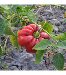 Rajčatová paprika Szuszanna - Capsicum annuum - osivo papriky - 7 ks