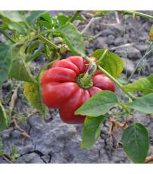 Rajčatová paprika Szuszanna - Capsicum annuum - semena paprik - 7 ks