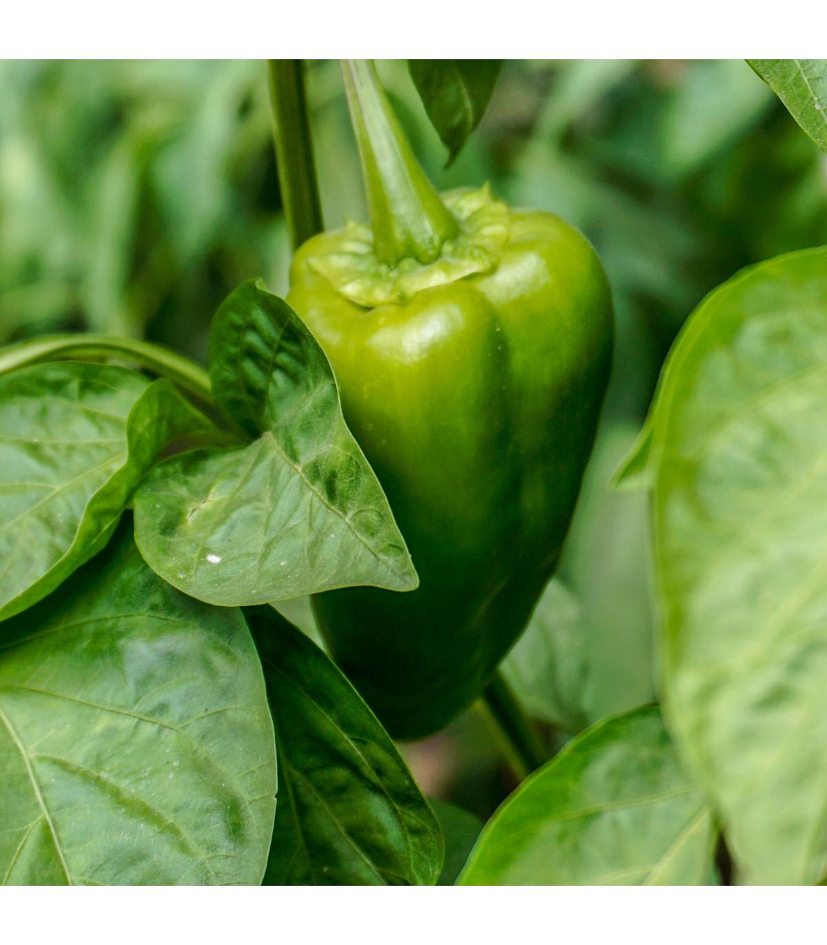Chilli Ancho - Capsicum annuum - osivo chilli - 6 ks