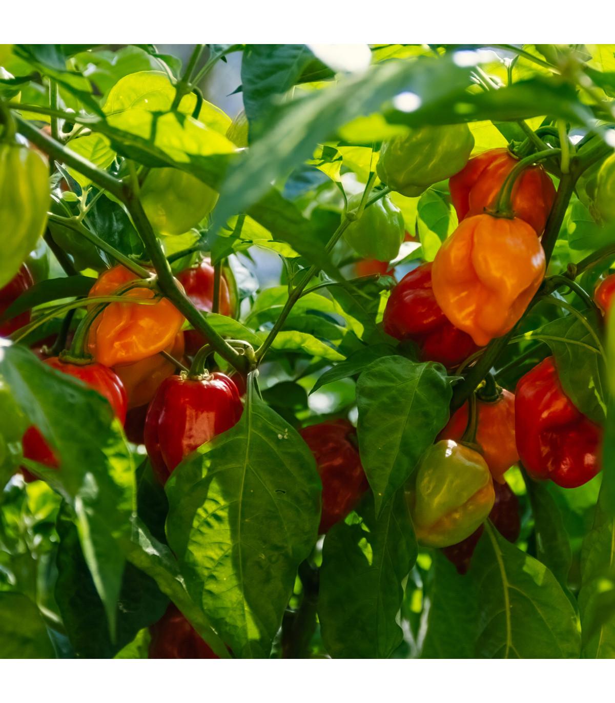 Chilli Habanero červené - Capsicum chinense - osivo chilli - 6 ks