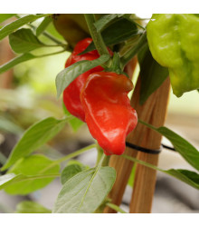 Chilli Jamaican Hot Red - Capsicum annuum - semena chillli - 6 ks