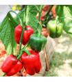 Paprika Yolo Wonder - prodej semen papriky - Capsicum annuum - 20 ks