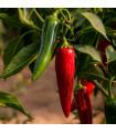 Chilli Jalapeno - Capsicum Annuum - semena - 6 ks