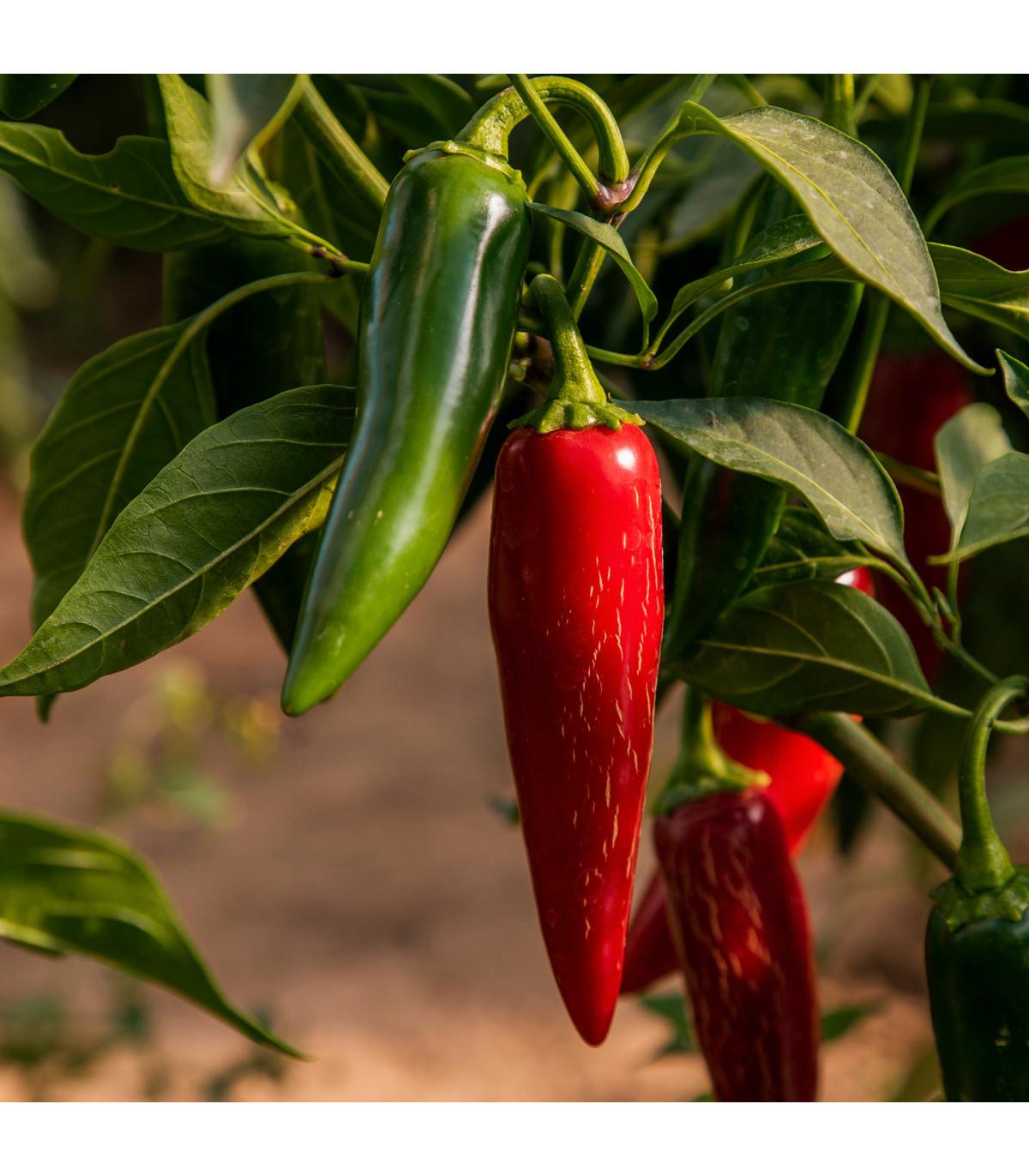 Chilli Jalapeno - Capsicum annuum - osivo chilli - 6 ks