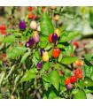 Chilli- Bolívijská duha- semena- 6 ks