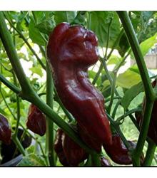 Chilli Devils Tongue Chocolate - Capsicum chinense - semena -  7 Ks