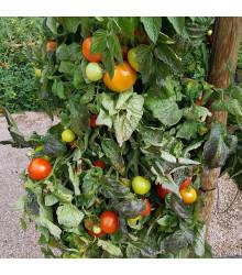 Rajče keříčkové Rentita - Lycopersicon Esculentum - semena rajčat - 15 ks