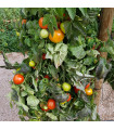 Rajče keříčkové Rentita - prodej semen rajčat - 15 ks