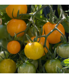 Převislé rajče Tom Yellow - Lycopersicon Esculentum - semena rajčat - 8 ks