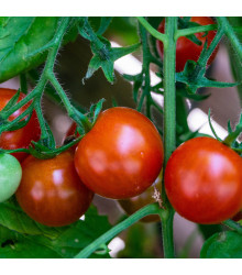 Rajče balkónové keříčkové Balkonstar - Solanum Lycopersicum - semena rajčat - 10 ks