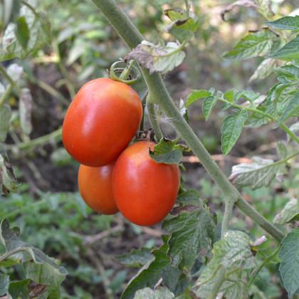 Rajče keříčkové Roma - Lycopersicon Lycopersicum - osivo rajčat - 65 ks
