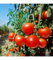 BIO rajče Serrat F1 - Lycopersicon Esculentum - bio semena rajčat - 5 ks