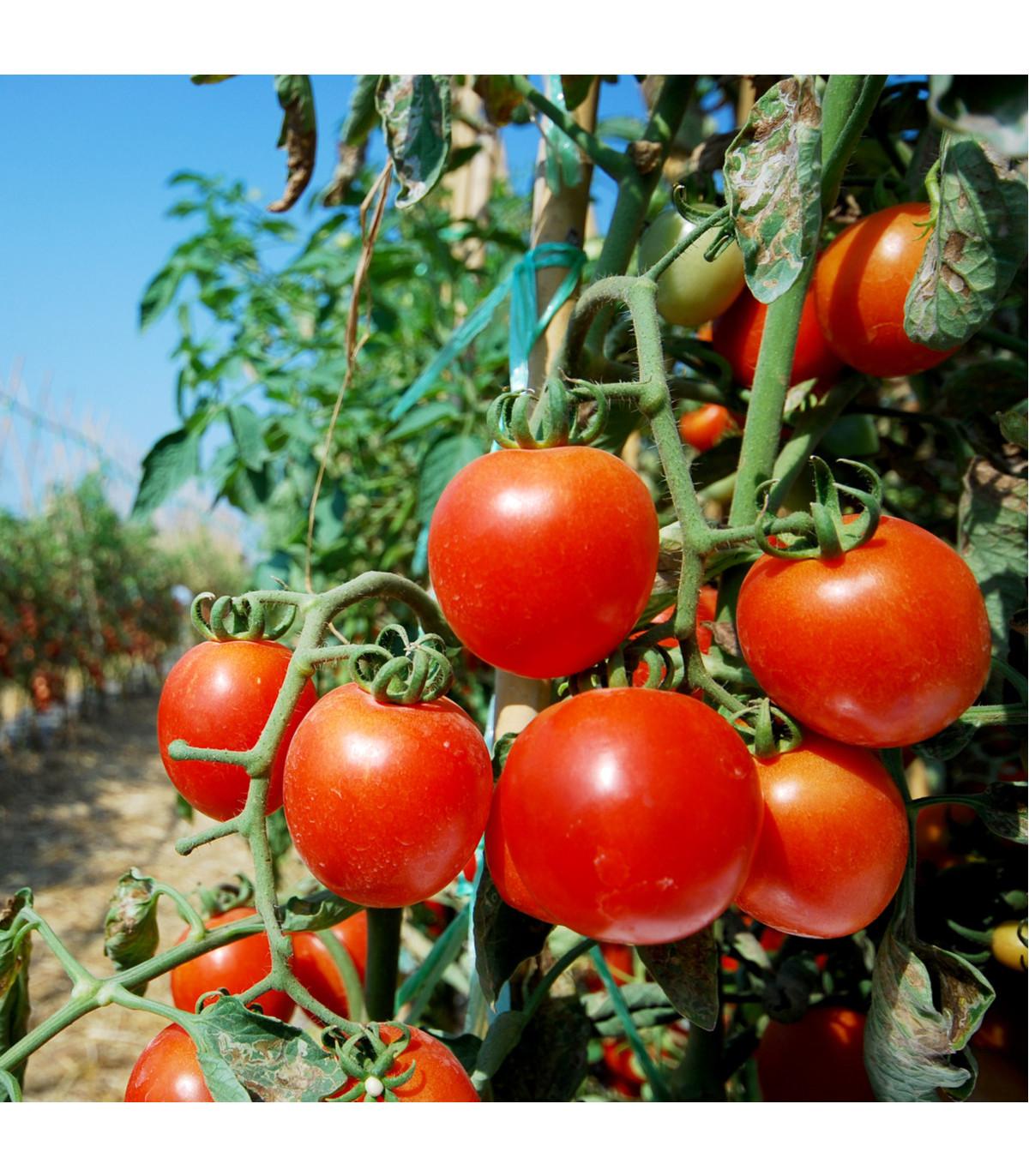 BIO rajče Serrat F1 - Lycopersicon Esculentum - bio osivo rajčat - 5 ks