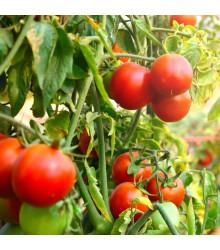 Rajče Tamina - Lycopersicon lycopersicum - osivo rajčat - 20 ks