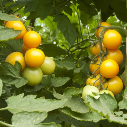 Rajče zlaté Golden Currant - Lycopersicon Esculentum - osivo rajčat - 5 ks