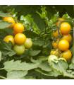 Rajče zlaté Golden Currant - prodej semen rajčat - 5 ks