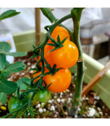 Rajče Sungold F1 - Solanum lycopersicum - osivo rajčat - 6 ks