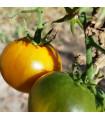 Rajče tyčkové Zlatá královna - prodej semen rajčat - 10 ks
