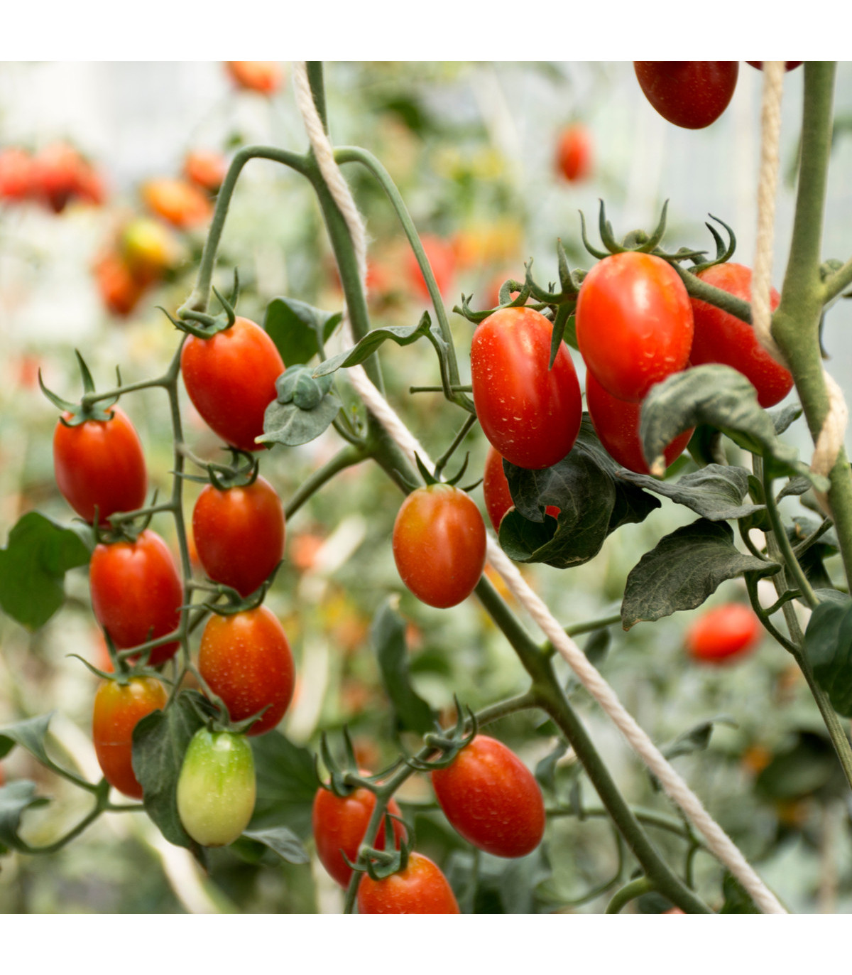 Rajče Ravello F1 - Lycopersicum Esculentum - osivo rajčat - 4 ks
