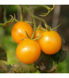 Rajče Artisan Golden Bumble Bee - Lycopersicon esculentum - semena rajčat - 5 ks