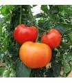 Rajče Legenda - prodej semen rajčat - původní odrůdy rajčat - 6 ks