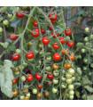 Rajče tyčkové hybridní Sweet Million - prodej semen rajčat - 5 ks