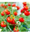 Rajče Obří Hrozny neboli Riesentraube - prodej semen rajčat - 7 ks