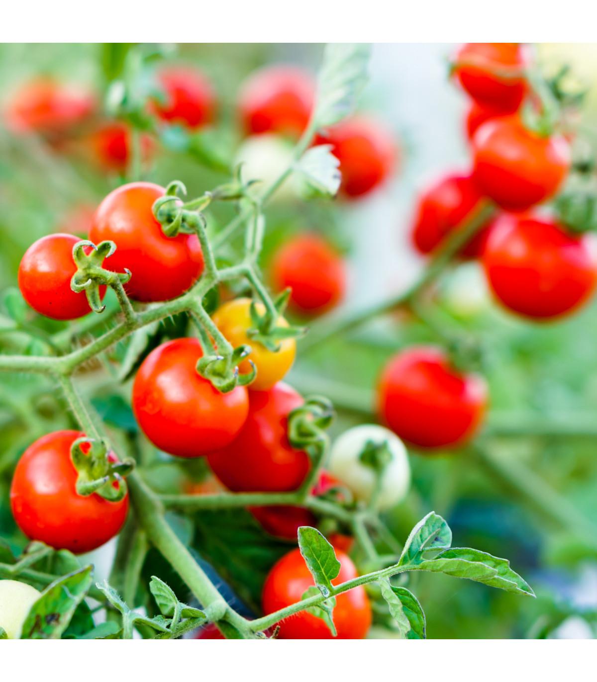 Rajče Obří Hrozny - Riesentraube - Lycopersicon Lycopersicum - osivo rajčat - 7 ks