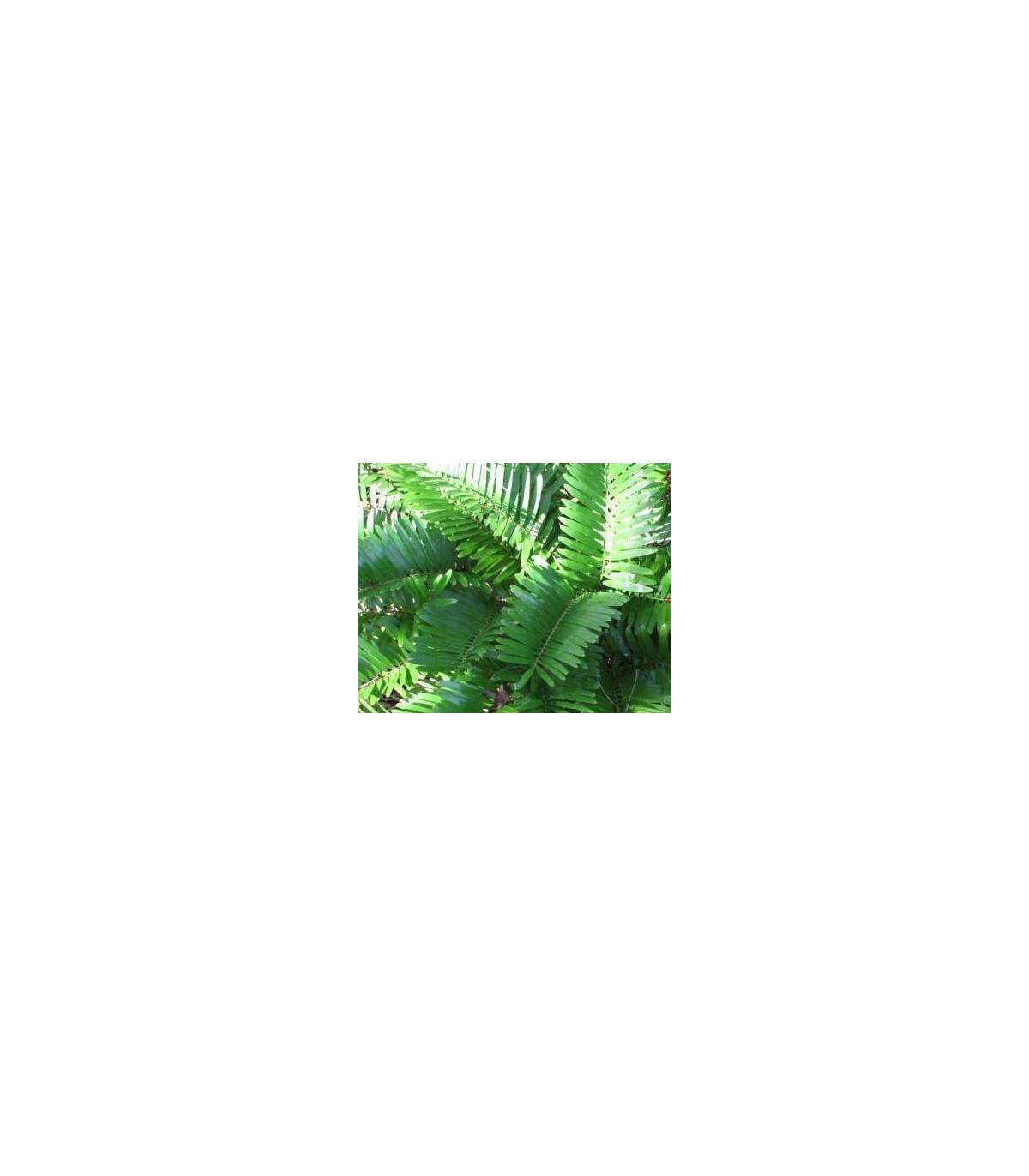 Cykas Zamia floridana - Keják drobný semínka - 2 ks
