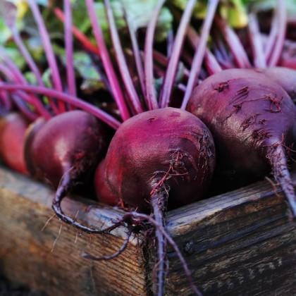 Řepa salátová Pablo F1 - červená kulatá - Beta vulgaris - semena - 50 ks