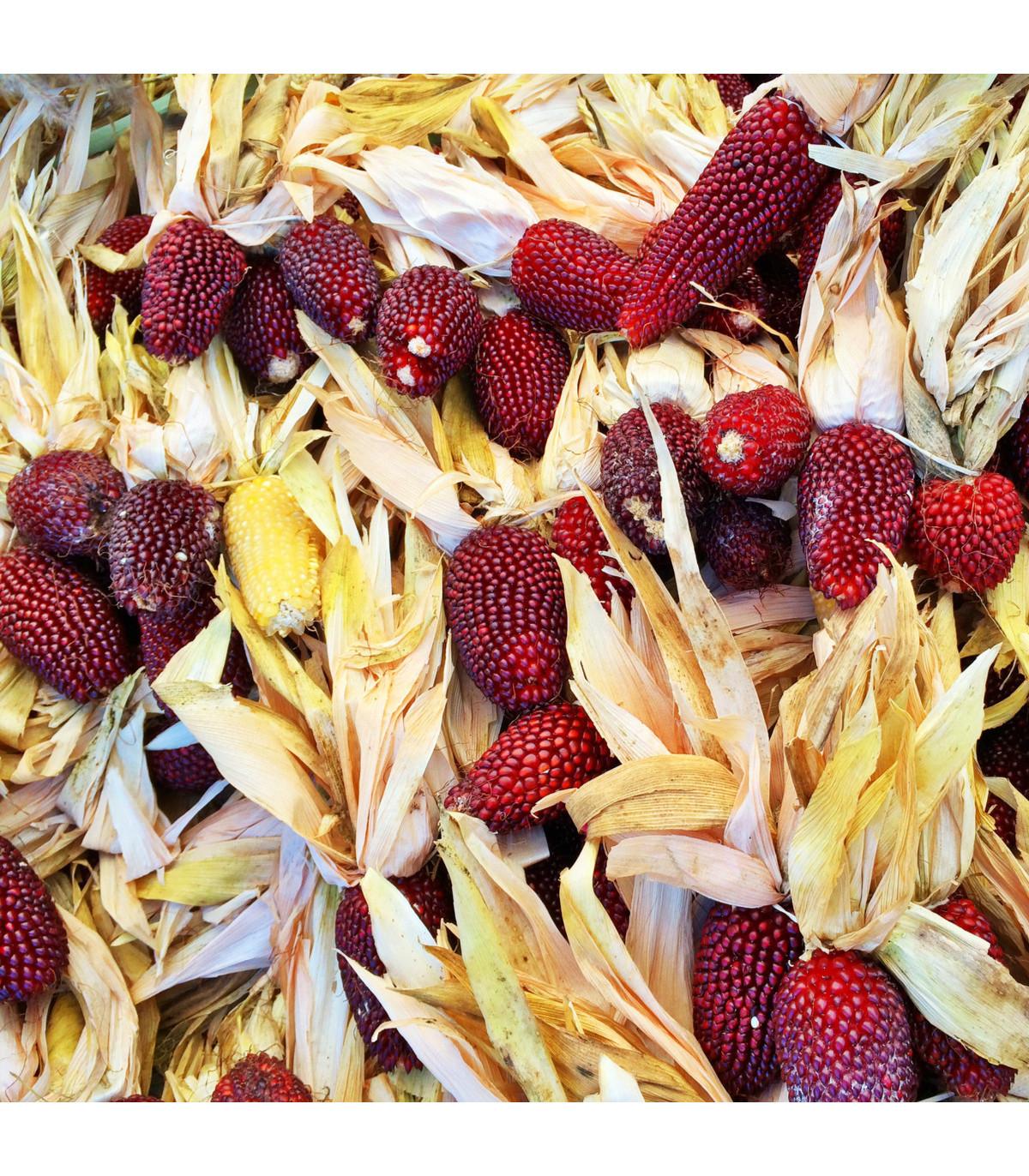 Kukuřice jahodová - Zea mays multicolor - osivo kukuřice - 20 ks